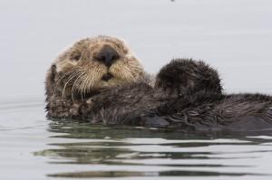 sea-otter-morro-bay-13, de mikebaird, en flickr
